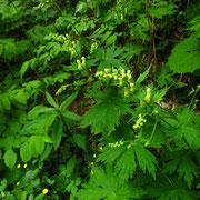 Wolfs-Eisenhut (Aconitum lycoctonum)