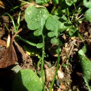 Kriech-Schaumkresse (Arabidopsis halleri)