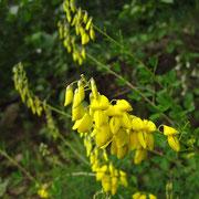 Trauben-Geißklee (Cytisus nigricans)