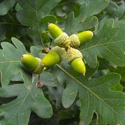 Stiel-Eiche (Quercus robur) | Früchte