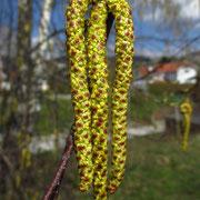 Hänge-Birke (Betula pendula) | männliche Blüten