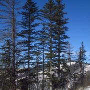 Weiß-Tanne (Abies alba)