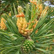 Rot-Föhre (Pinus sylvestris) | männliche Blüten & Zapfen