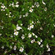 Wiesen-Augentrost (Euphrasia roskoviana agg.)