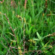 Hirse-Segge (Carex panicea)