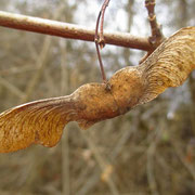 Feld-Ahorn (Acer campestre) | Frucht