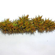Fuchs-Segge (Carex vulpina)