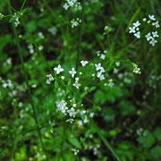 Sumpf-Labkraut (Galium palustre agg.)