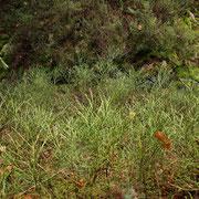 Heidelbeere (Vaccinium mytrillus)