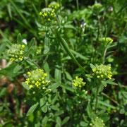 Kelch-Steinkraut (Alyssum alyssoides)