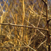 Schlehdorn (Prunus spinosa)  | Knospen