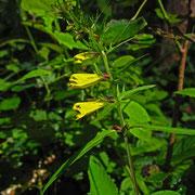 Gewöhnlicher Wachtelweizen (Melampyrum pratense)