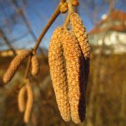 Gewöhnliche Hasel (Corylus avellana) | männliche Blüten vor dem Aufblühen