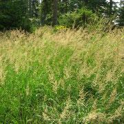 Bunt-Reitgras (Calamagrostis varia)