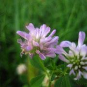 Hohlstängel-Klee (Trifolium suaveolens)