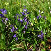 Wiesen-Kreuzblume (Polygala vulgaris)