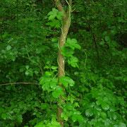 Echter Hopfen (Humulus lupulus)