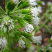 Weiße Pestwurz (Petasites albus) | weibliche Pflanze