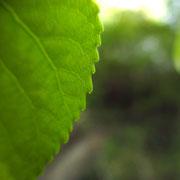 Schwarz-Pappel (Populus nigra)