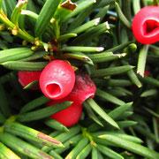 Europa-Eibe (Taxus baccata) | weibliche Pflanze mit Früchten