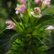 Dorn-Hohlzahn (Galeopsis tetrahit)