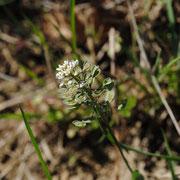 Durchwachs-Kleintäschel (Microthlaspi perfoliatum)