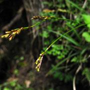 Vogelfuß-Segge (Carex ornithopoda)