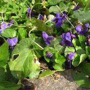 März-Veilchen (Viola odorata)