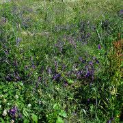 Zottel-Wicke (Vicia villosa)