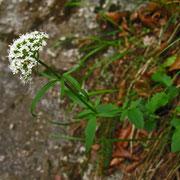 Dreischnittiger Baldrian (Valeriana tripteris)