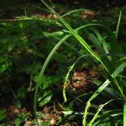 Wald-Segge (Carex sylvatica)