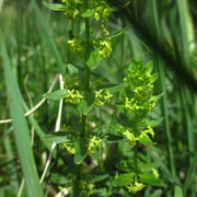 Kahles Kreuzlabkraut (Cruciata glabra)