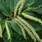 Edelkastanie (Castanea sativa) | männliche Blüten
