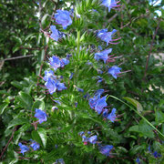 Gewöhnlicher Natternkopf (Echium vulgare)