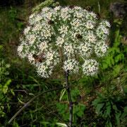 Wilde Engelwurz (Angelica sylvestris)