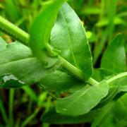 Feld-Kresse (Lepidium campestre)