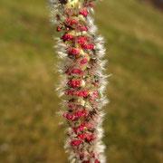 Zitter-Pappel (Populus tremula) | männlicher Blütenstand