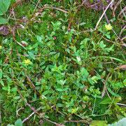 Liege-Johanniskraut (Hypericum humifusum)