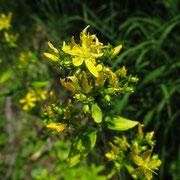 Flaum-Johanniskraut (Hypericum hirsutum)
