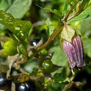 Echte Tollkirsche (Atropa bella-donna)