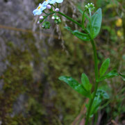 Sumpf-Vergissmeinnicht (Myosotis scorpioides s.lat.)