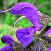 Wiesen-Salbei (Salvia pratensis)