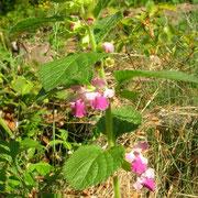 Immenblatt (Melittis melissophyllum)