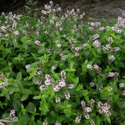 Ross-Minze (Mentha longifolia)
