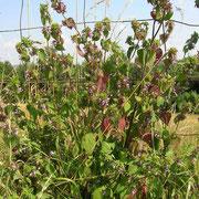 Gewöhnliche Schwarznessel (Ballota nigra)