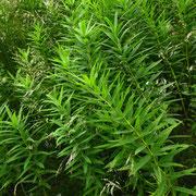 Quirl-Weißwurz (Polygonatum verticillatum)