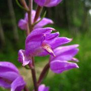 Purpur-Waldvöglein (Cephalanthera rubra)
