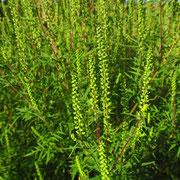 Beifuß-Traubenkraut (Ambrosia artemisiifolia)