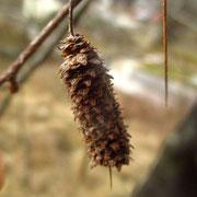 Hänge-Birke (Betula pendula) | Fruchtstand vom Vorjahr