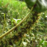Grünähren-Amaranth (Amaranthus powellii s.lat.)